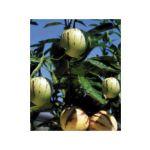 MELON POIRE PEPINO - LES 2 PLANTS EN GODET LES LÉGUMES ANCIENS - FABRE GRAINES